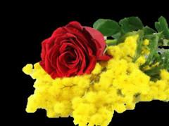 mimose, donna, festa della donna