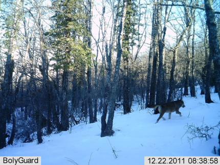 Il passaggio di un lupo registrato attraverso una fototrappola