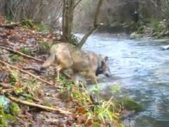 La lupa Selana, a cui il Parco Nazionale dei Monti Sibillini aveva applicato un collare satellitare, è scomparsa, uccisa da un bracconiere