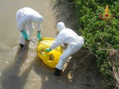 Le operazioni dei Vigili del fuoco per il recupero della carcassa di capriolo rinvenuta decomposta alla foce del fiume Potenza
