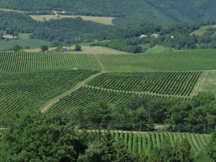 I vigneti marchigiani del vino verdicchio
