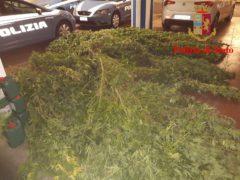 Sequestro di marijuana