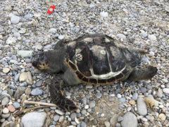 Carcassa di Caretta Caretta spiaggiata nel Fermano