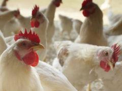 Allevamento di pollame
