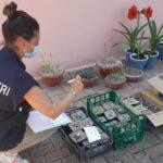 Cacti sequestrati a San Benedetto del Tronto