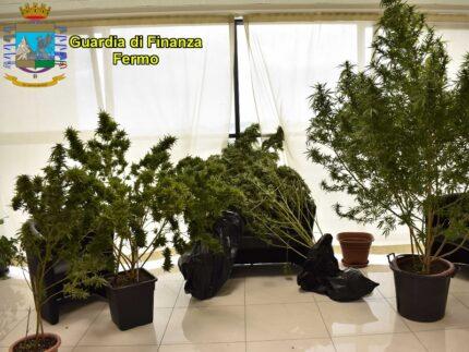 Piante di cannabis sequestrate dalla GdF
